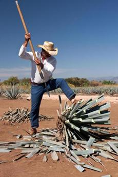 A jimador, or harvester, of agave plants, outside Tequila, the town at the center of that important Mexican spirits industry.